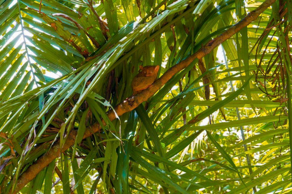 "ALT=""tarsier smallest primate animal"""