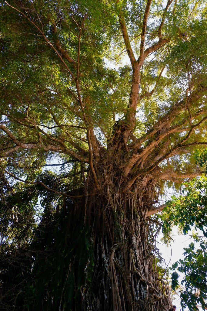 """ALT=""""baler travel guide and the balete tree"""""""