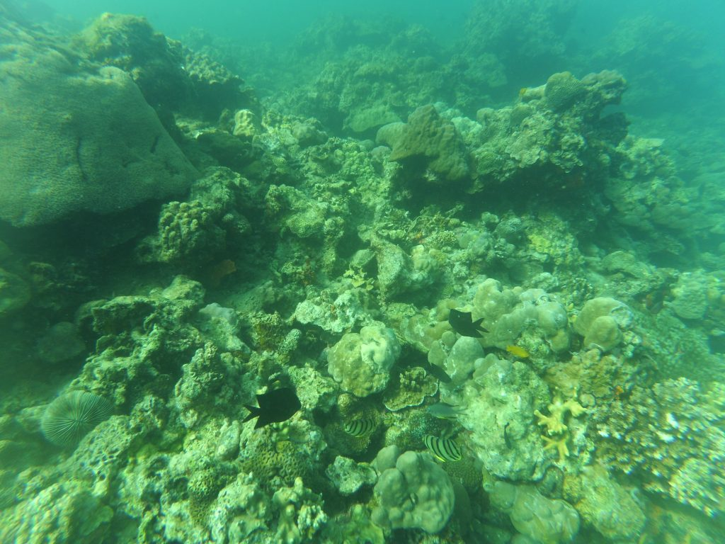 """ALT=""""the corals under the sea in summer cruise batangas"""""""
