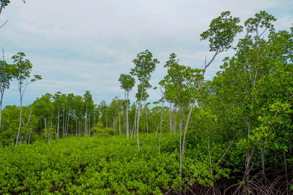 "ALT=""the mangrove forest bantayan island"""