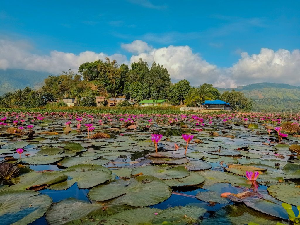 "ALT=""lotus flower lake sebu south cotabato"""